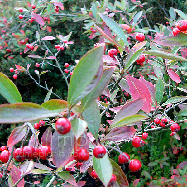 Big Photo of Aronia Arbutifolia