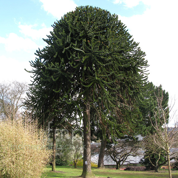 Big Photo of Araucaria Arucana