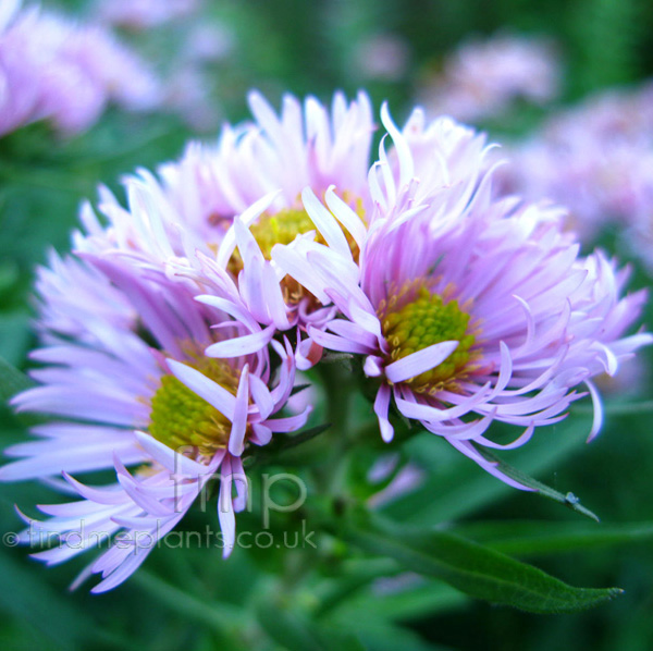 Big Photo of Aster  Novae-Angliae, Flower Close-up