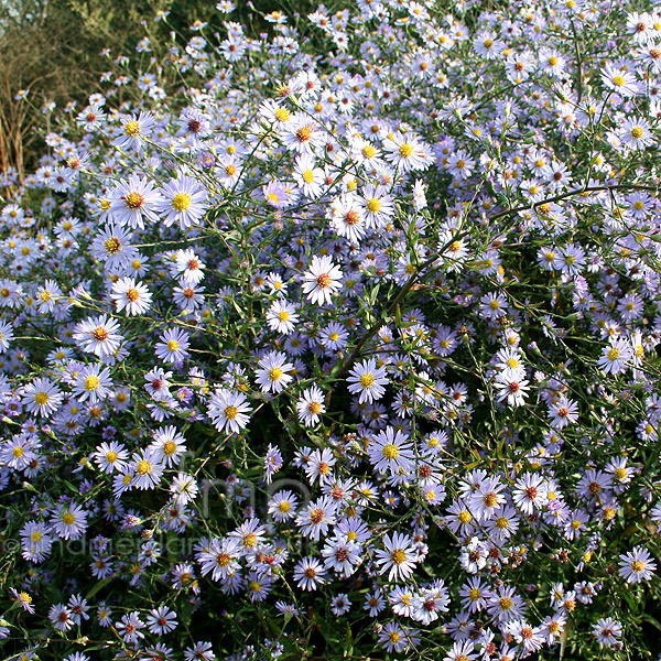 Big Photo of Aster Turbinellus