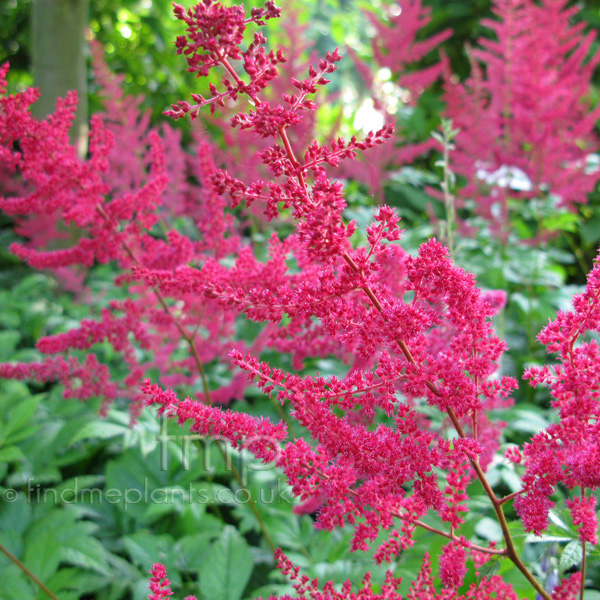 Big Photo of Astilbe X Arendsii, Flower Close-up