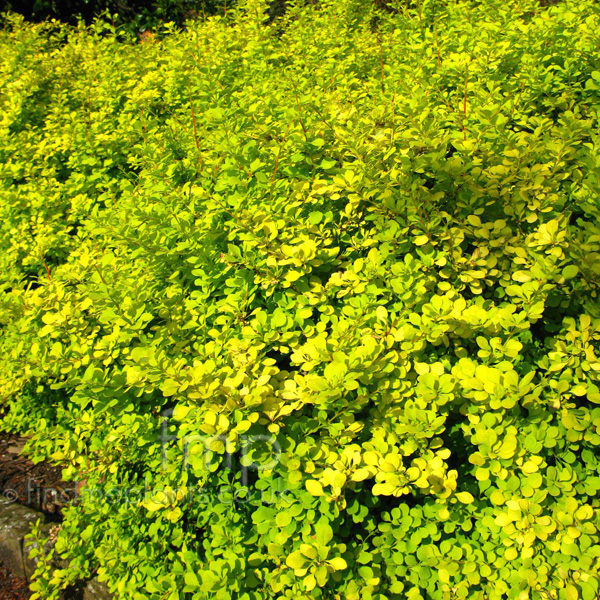 Big Photo of Berberis Thunbergii
