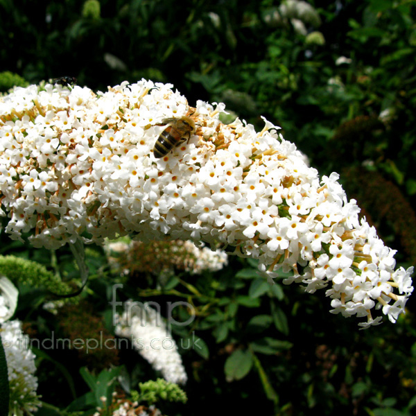 Big Photo of Buddleja Davidii, Flower Close-up