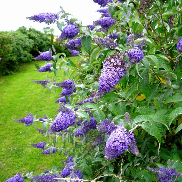 Big Photo of Buddleja Davidii