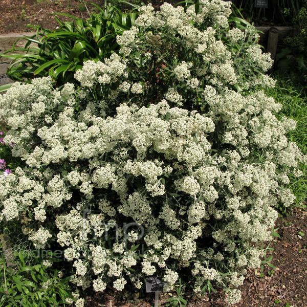 Buddleja loricata A Big Photo of Buddleja Loricata from FindMePlants