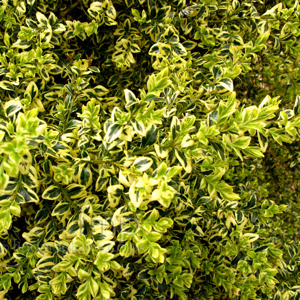 Big Photo of Buxus Sempervirens