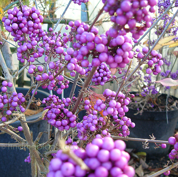 Big Photo of Callicarpa Bodinieri