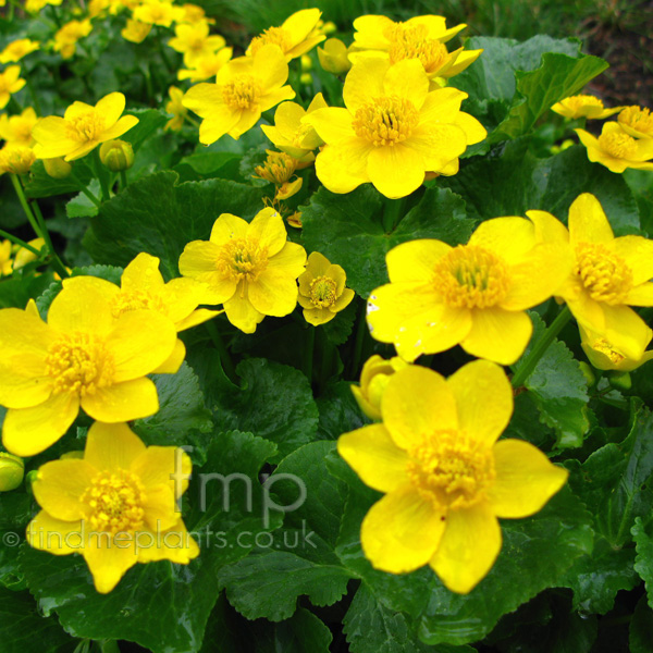 Big Photo of Caltha Palustris