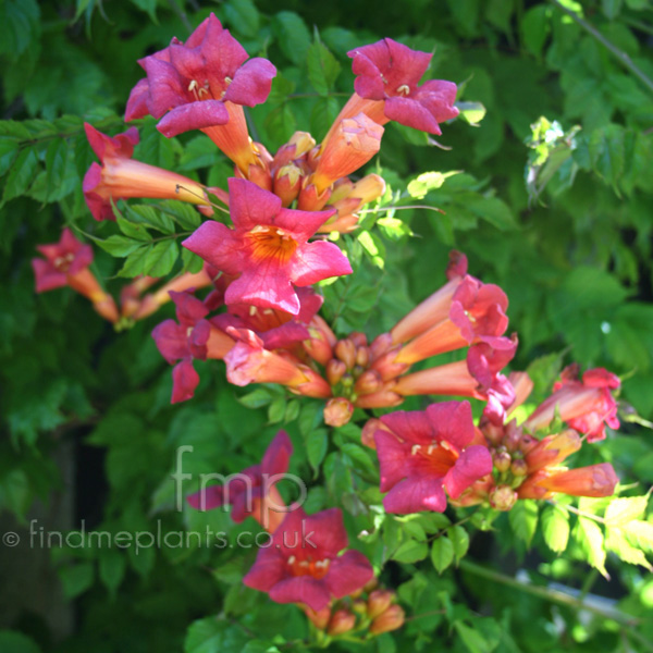 Big Photo of Campsis Radicans