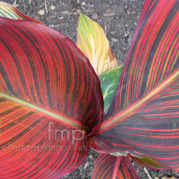 Big Photo of Canna , Leaf Close-up