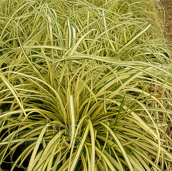 http://www.findmeplants.co.uk/picsinfull/carex_oshimensis_evergold.jpg