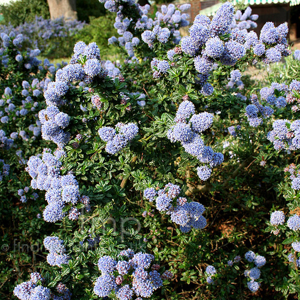 Big Photo of Ceanothus