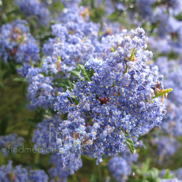 Big Photo of Ceanothus Concha, Flower Close-up