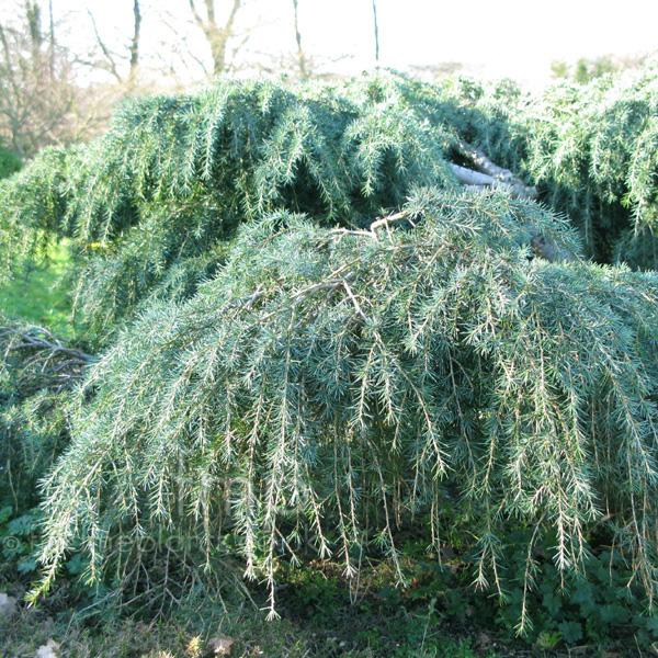 Deodar Cedar Tree Varieties ~ Cedrus deodara feelin blue information pictures