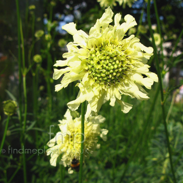 Big Photo of Cephalaria Gigantea, Flower Close-up