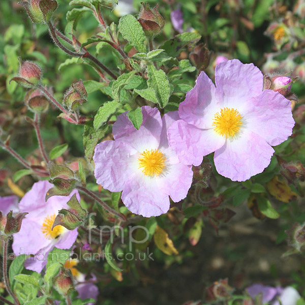Big Photo of Cistus Incanus