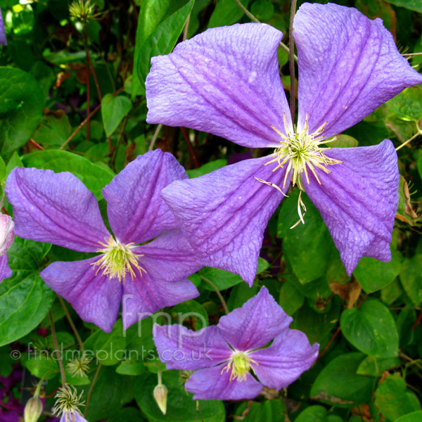 Big Photo of Clematis , Flower Close-up