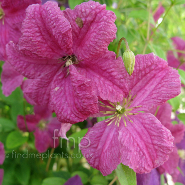 Big Photo of Clematis X Triternata