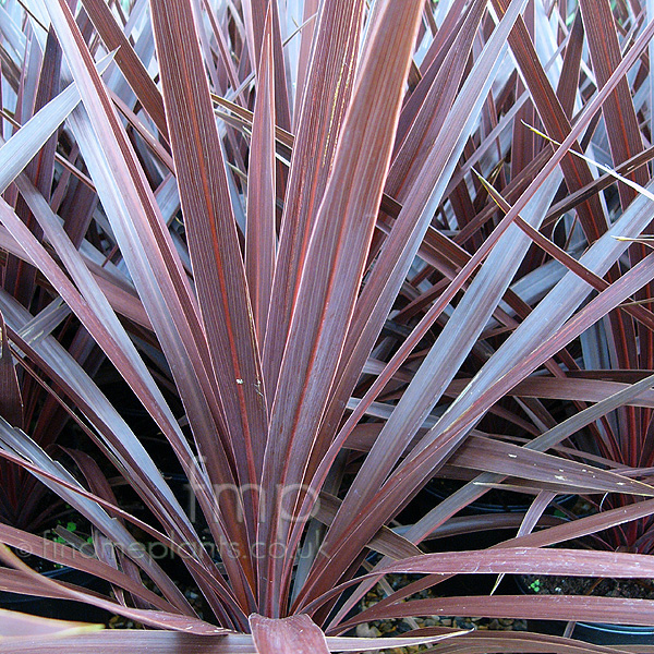 Cordyline - 'Red Star' (Cordyline, Cabbage Palm): Information ...