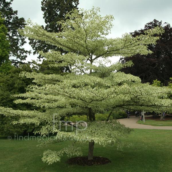 Cornus controversa -  Variegata   Variegated Dogwood Variegated Dogwood Tree