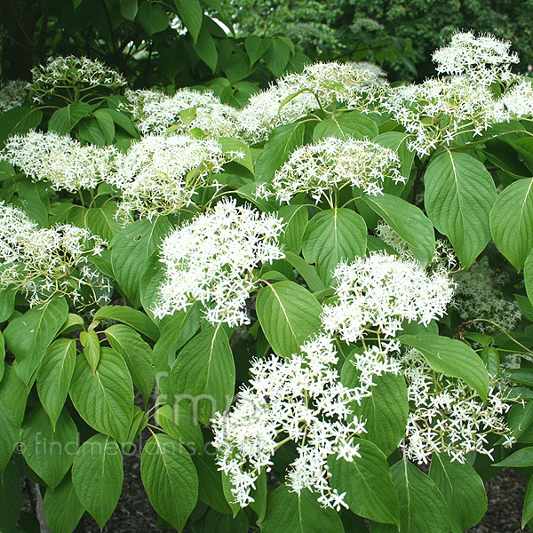 Big Photo of Cornus Controversa