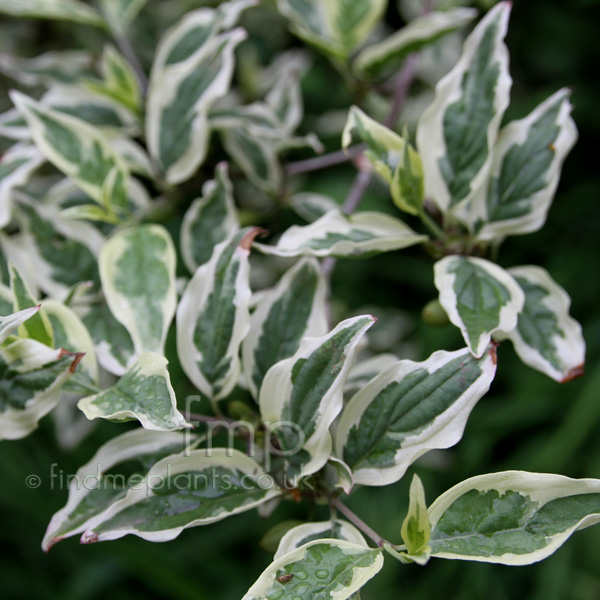 Big Photo of Cornus Mas, Leaf Close-up