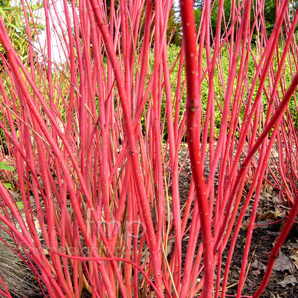 Big Photo of Cornus Alba