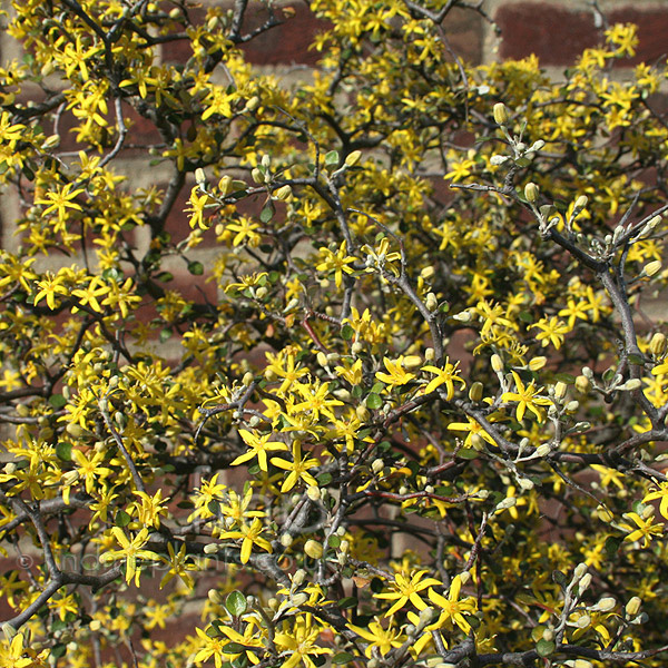 Corokia cotoneaster wire netting bush