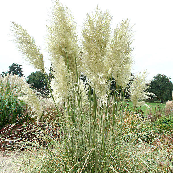 cortaderia selloana 39 aureolineata 39 pampass grass. Black Bedroom Furniture Sets. Home Design Ideas