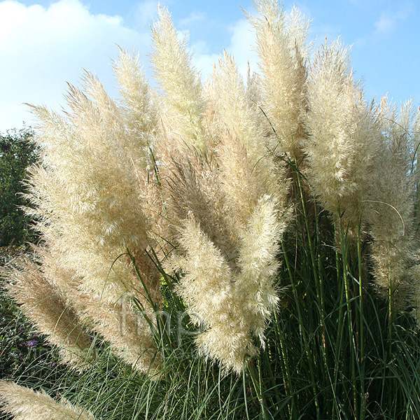 cortaderia selloana 39 pumila 39 pampass grass cortaderia information pictures cultivation tips. Black Bedroom Furniture Sets. Home Design Ideas
