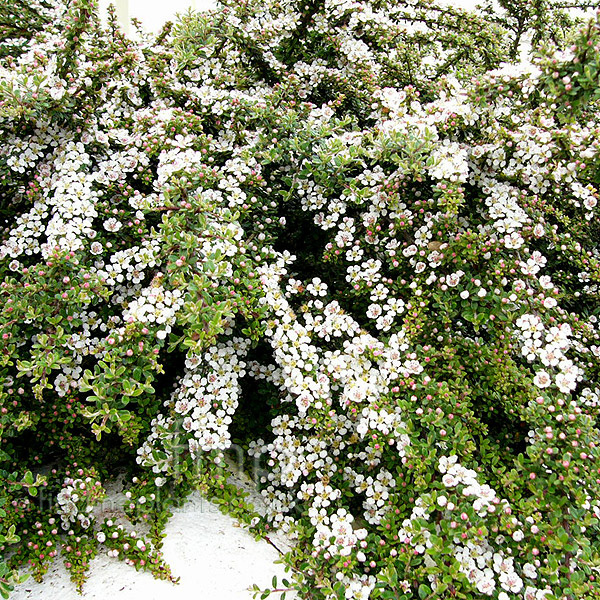Big Photo of Cotoneaster Horizontalis
