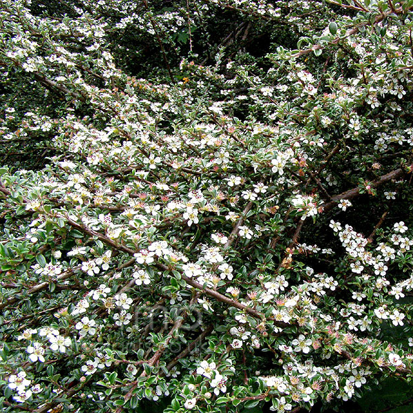 Big Photo of Cotoneaster Microphylla