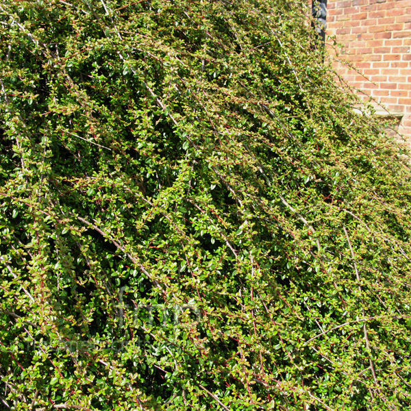 Big Photo of Cotoneaster
