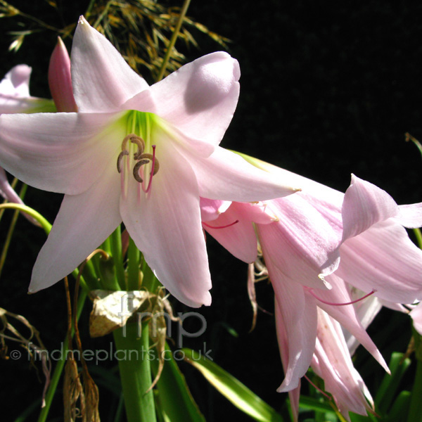 Big Photo of Crinum X Powellii', Flower Close-up