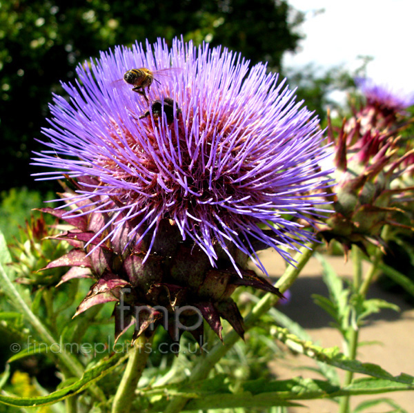 Big Photo of Cynara Cardunculus, Flower Close-up