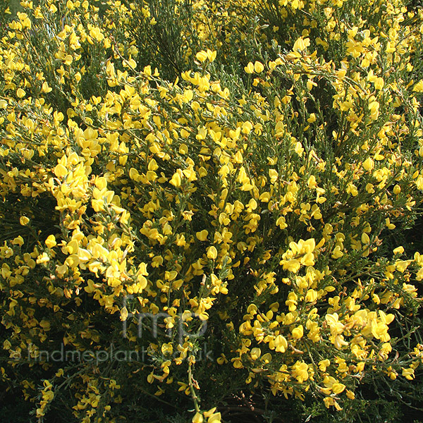 Cytisus x kewensis broom information pictures for Arbustos ornamentales para jardin