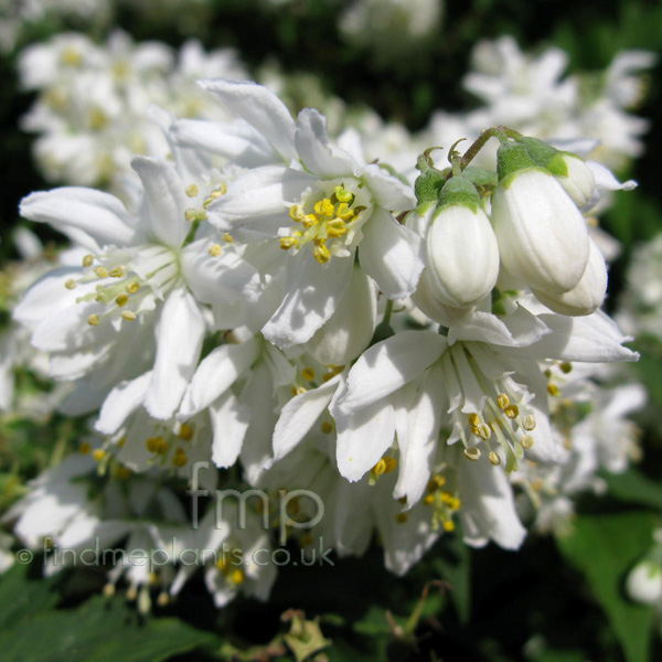 Big Photo of Deutzia X Magnifica, Flower Close-up