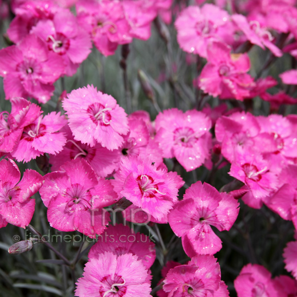 Big Photo of Dianthus
