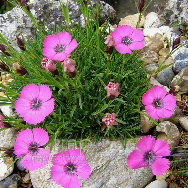 Big Photo of Dianthus Inshriach