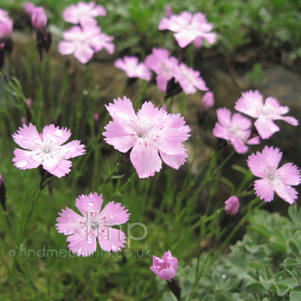 Big Photo of Dianthus Pavonius