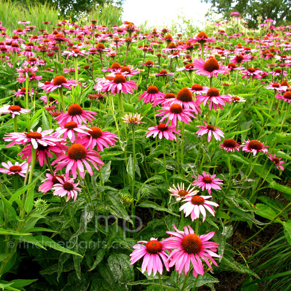 Big Photo of Echinacea Purpurea