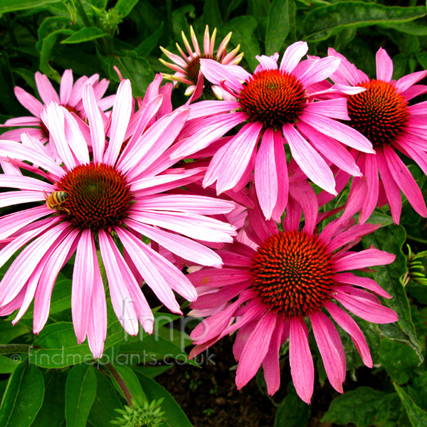 Big Photo of Echinacea Purpurea, Flower Close-up