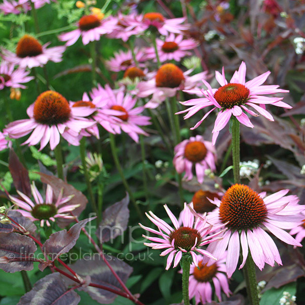 echinacea purpurea 39 ruby giant 39 echinacea cone flower. Black Bedroom Furniture Sets. Home Design Ideas