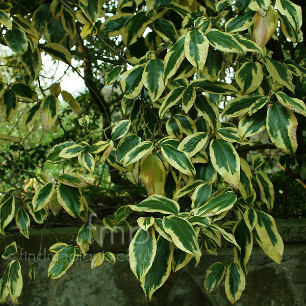 Big Photo of Elaeagnus Ebbingei
