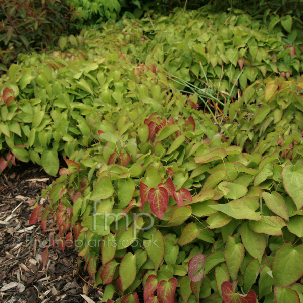 Big Photo of Epimedium Rubrum
