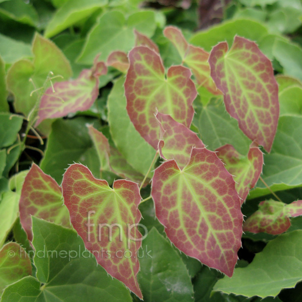 Big Photo of Epimedium Rubrum, Leaf Close-up