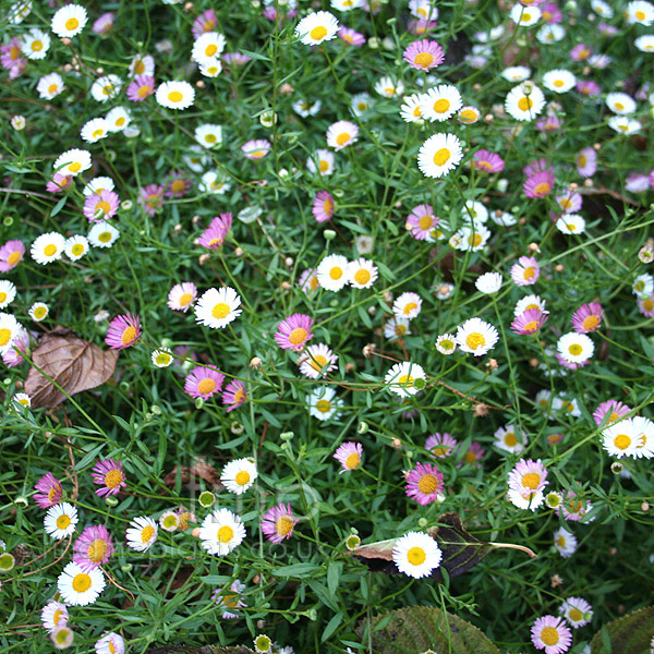 Big Photo of Erigeron Karvinskianus