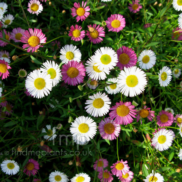 Big Photo of Erigeron Karvinskianus, Flower Close-up