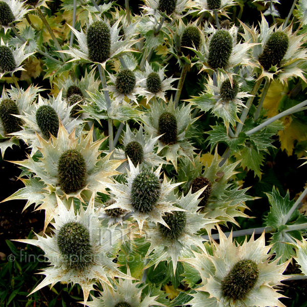 Big Photo of Eryngium Giganteum