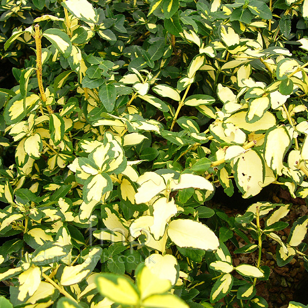Big Photo of Euonymus Fortunei